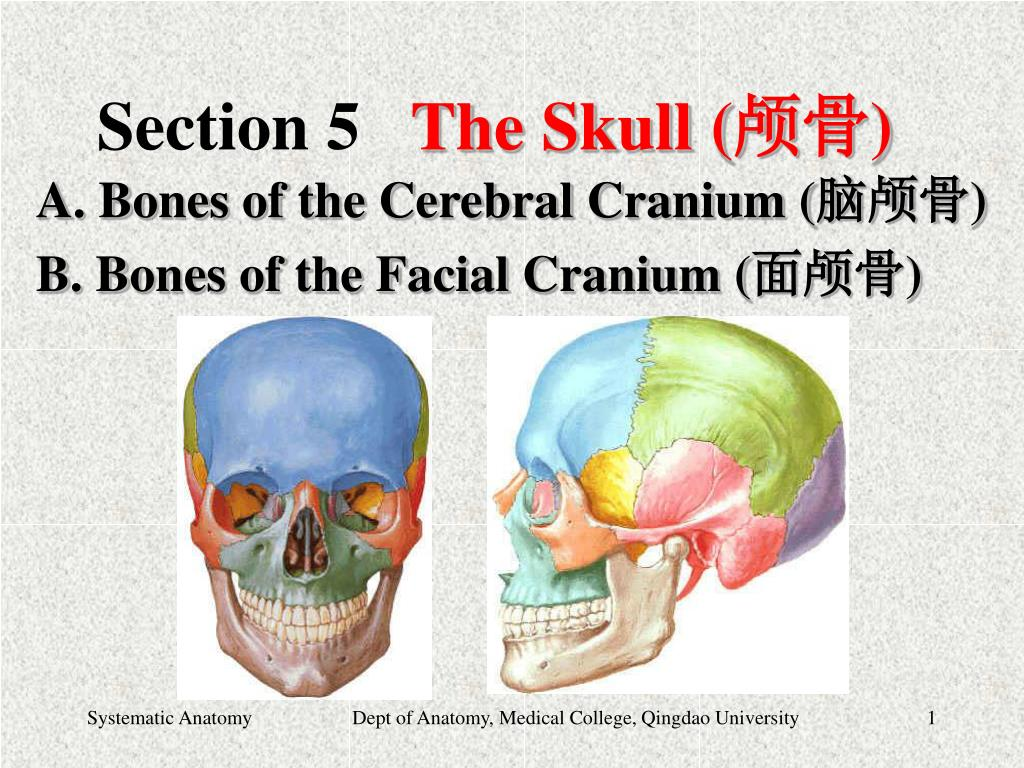 PPT - Section 5 The Skull ( 颅骨) PowerPoint Presentation - ID:6566428