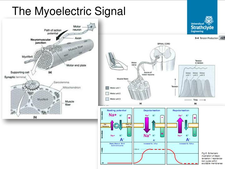 The Myoelectric Signal