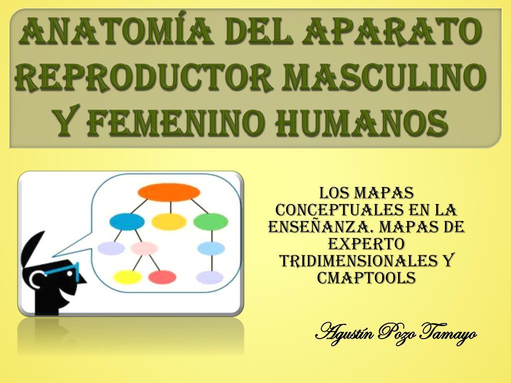 PPT - ANATOMÍA DEL APARATO REPRODUCTOR MASCULINO Y FEMENINO HUMANOS ...