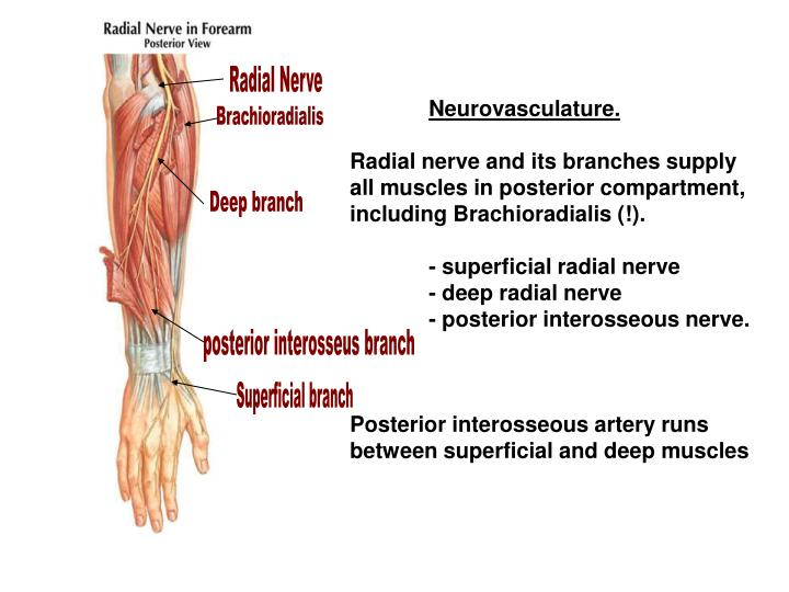 Ppt Muscles Of The Forearm Powerpoint Presentation Id6573339