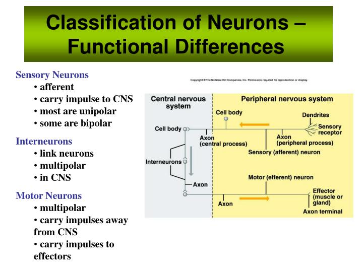 Classification of Neurons – Functional Differences