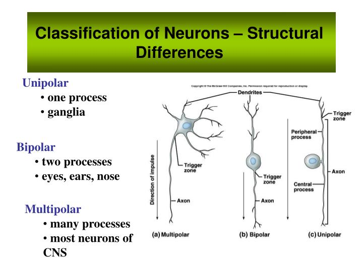 Classification of Neurons – Structural Differences
