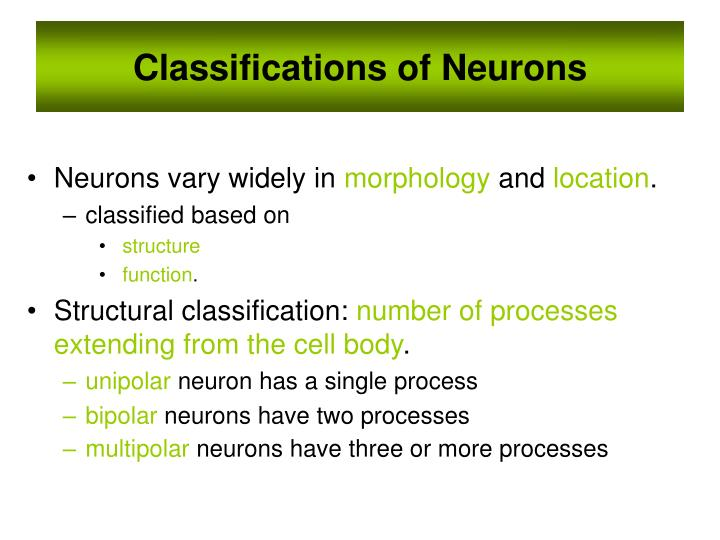 Classifications of Neurons