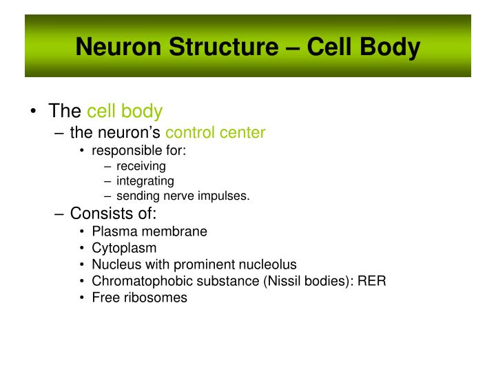 Neuron Structure – Cell Body