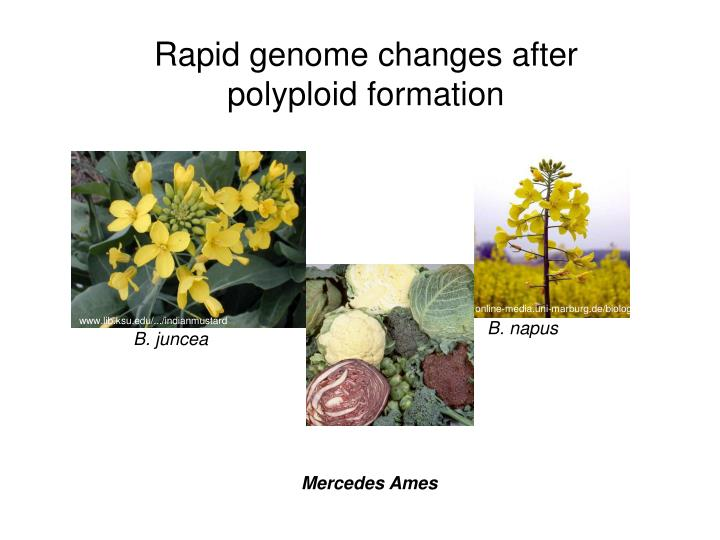 Rapid genome changes after polyploid formation