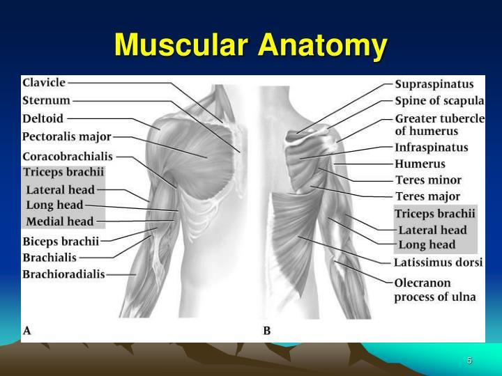Muscular Anatomy