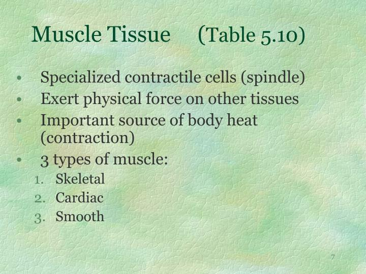 Muscle Tissue     (