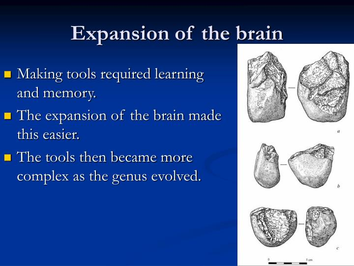 Expansion of the brain1