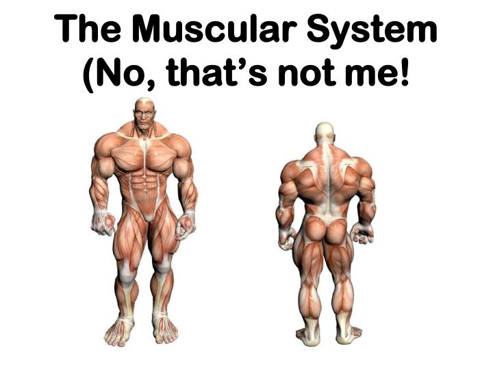 The muscular system no that s not me