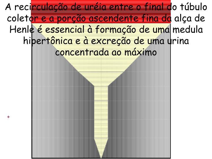 A recirculação de uréia entre o final do túbulo coletor e a porção ascendente fina da alça de Henle é essencial à formação de uma medula hipertônica e à excreção de uma urina concentrada ao máximo