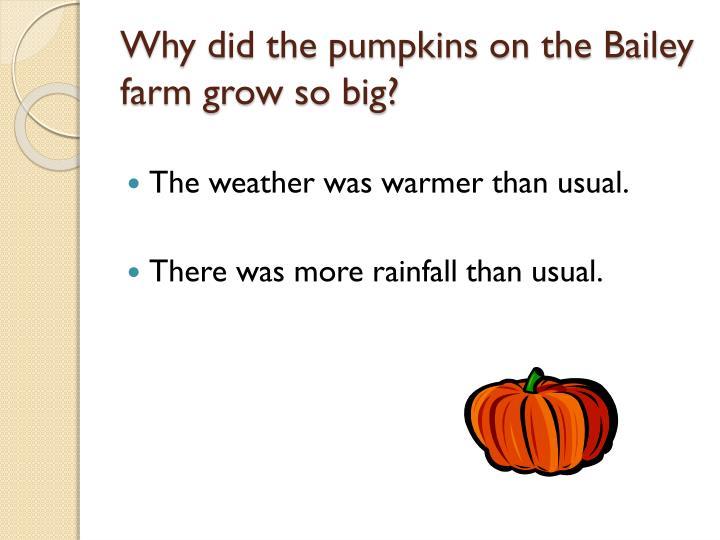 Why did the pumpkins on the Bailey farm grow so big?