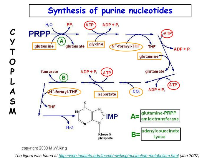 Synthesis of purine nucleotides