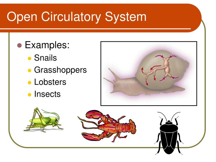 Ppt Open Vs Closed Circulatory System Powerpoint Presentation
