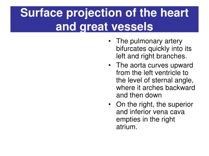 Surface projection of the heart and great vessels