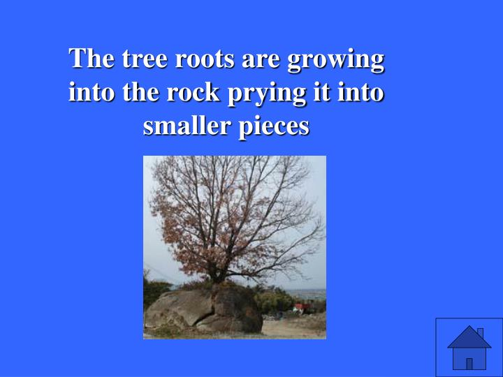 The tree roots are growing into the rock prying it into smaller pieces
