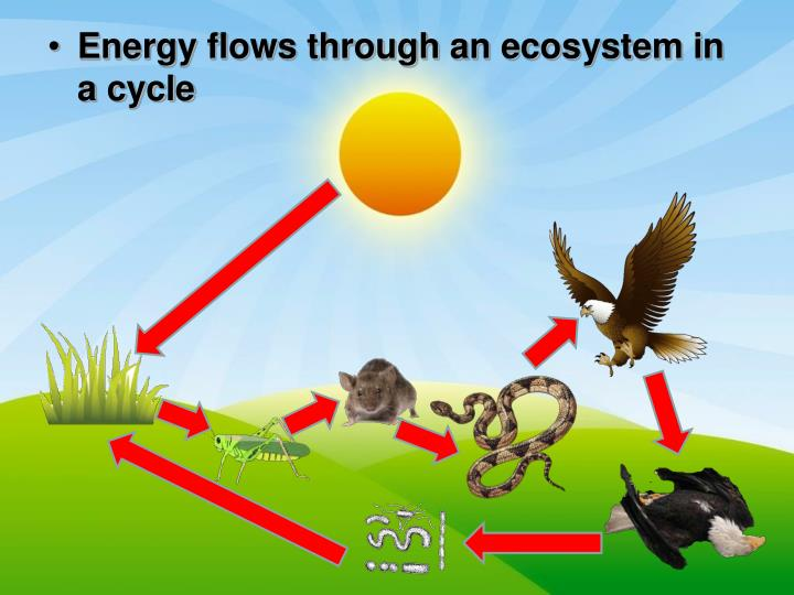 Energy flows through an ecosystem in a cycle