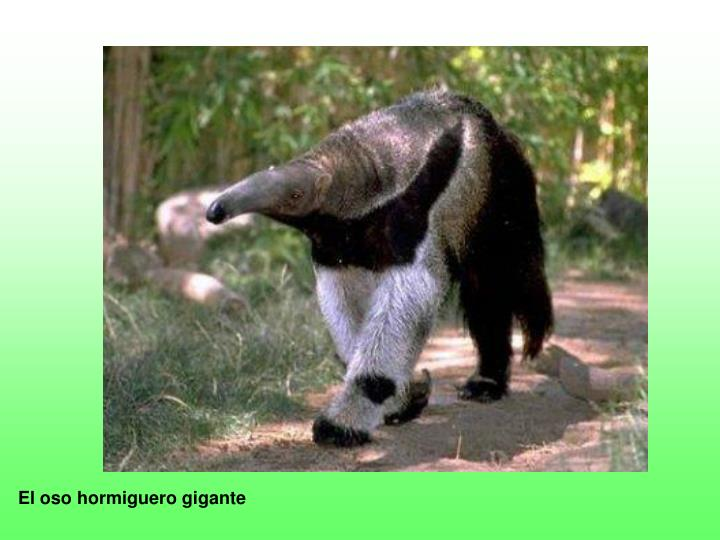 El oso hormiguero gigante