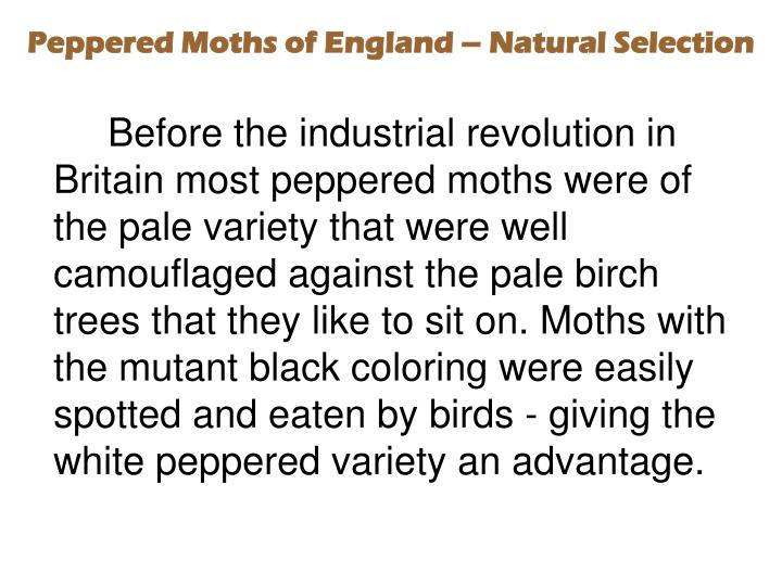 Peppered Moths of England – Natural Selection