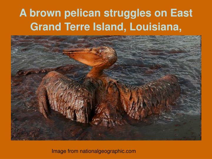 A brown pelican struggles on East Grand Terre Island, Louisiana,