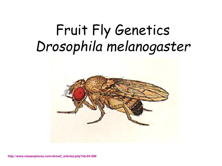 mendelian genetics drosophila melanogaster lab report Professional drosophila melanogaster lab report writing help drosophila melanogaster has been extensively studied in the field of genetics fruit fly genetics lab report has identified the major reasons for fruit flies use in genetics reports as their ease in being cultured in the laboratory.