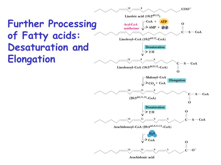 Further Processing of Fatty acids: Desaturation and Elongation