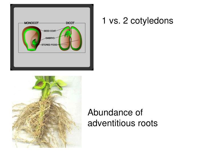 1 vs. 2 cotyledons