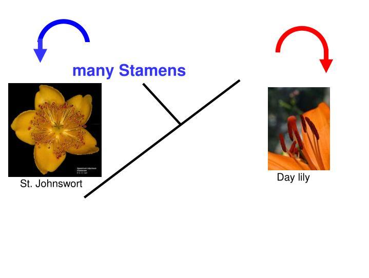many Stamens