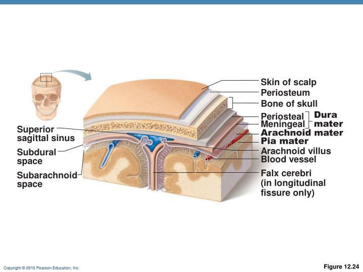 Skin of scalp