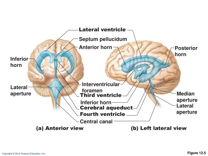 Lateral ventricle