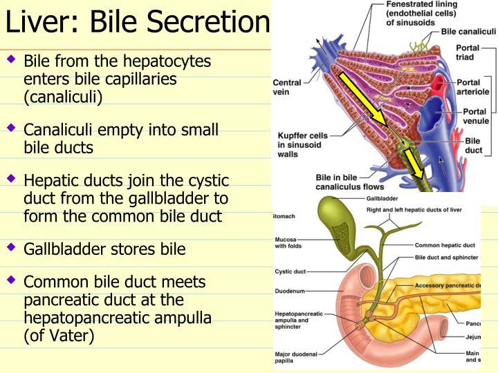 Liver: Bile Secretion