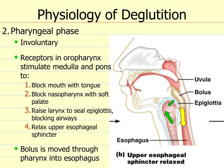 Physiology of Deglutition