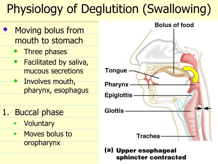 Physiology of Deglutition (Swallowing)