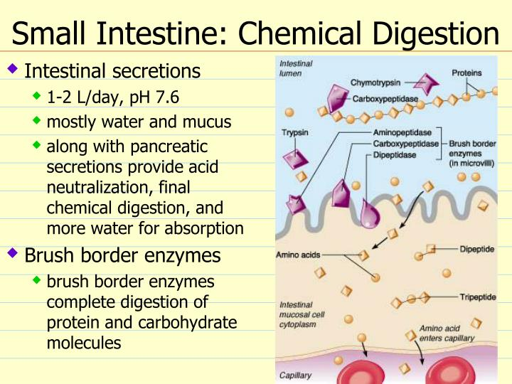 Small Intestine: Chemical Digestion