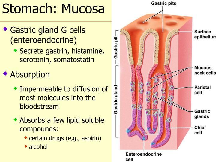 Stomach: Mucosa