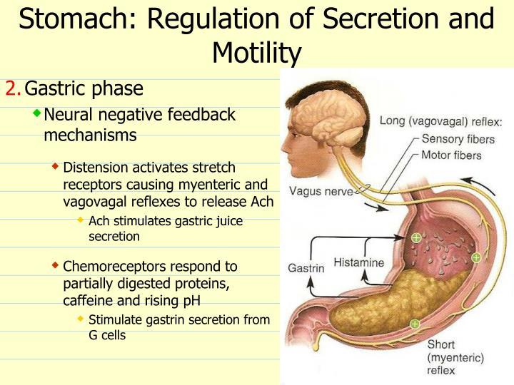 Stomach: Regulation of Secretion and Motility