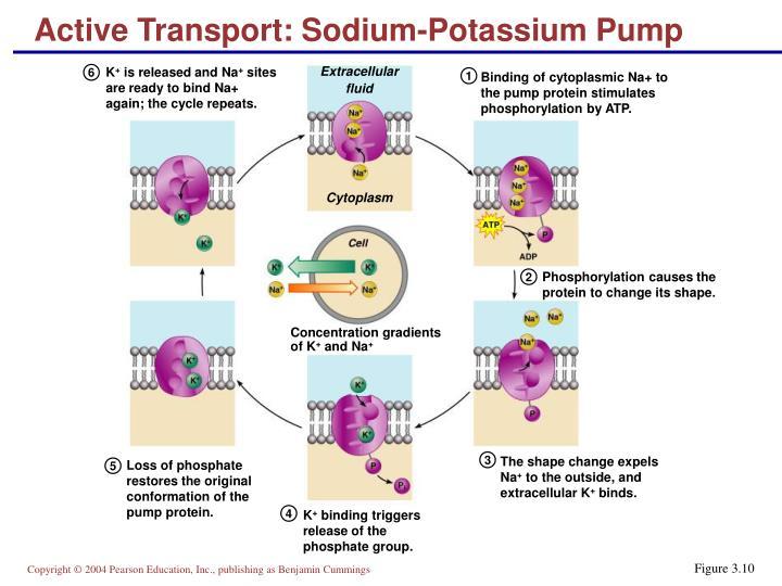 Active Transport: Sodium-Potassium Pump
