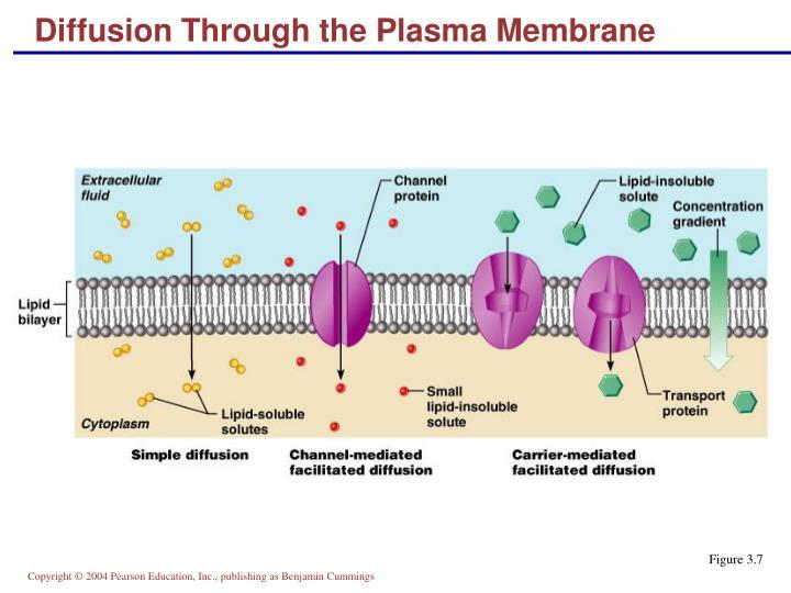 Diffusion Through the Plasma Membrane