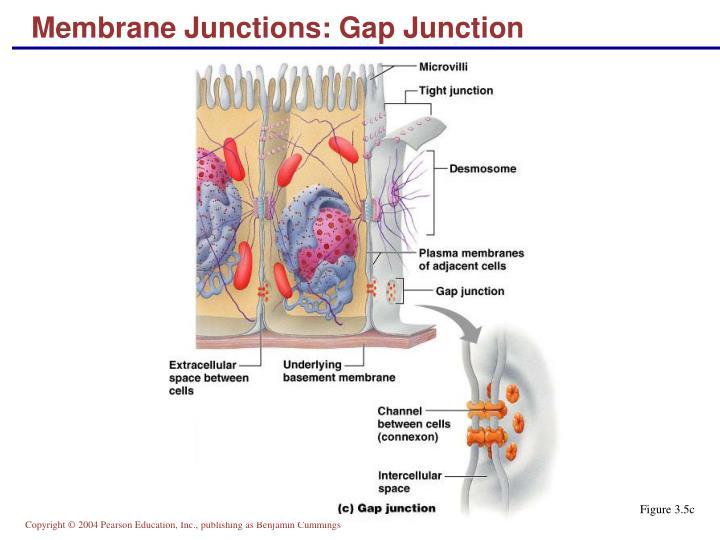 Membrane Junctions: Gap Junction