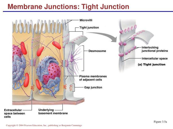Membrane Junctions: Tight Junction