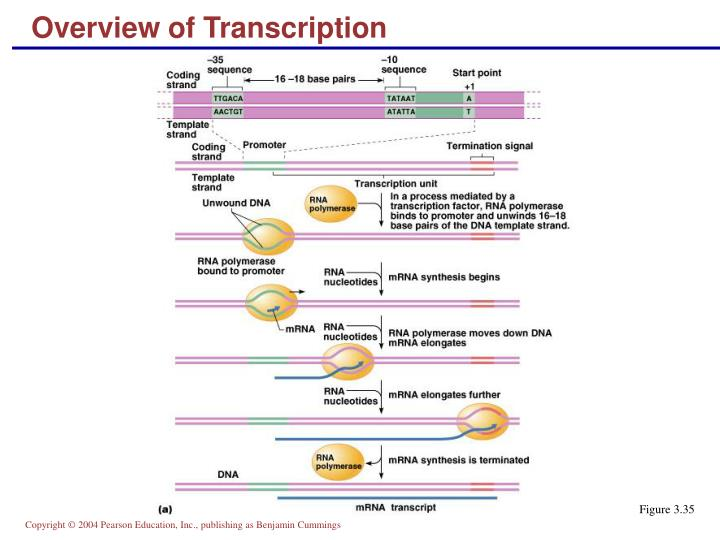 Overview of Transcription