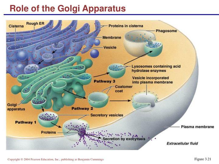 Role of the Golgi Apparatus