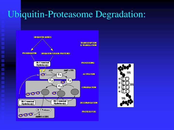 Ubiquitin-Proteasome Degradation: