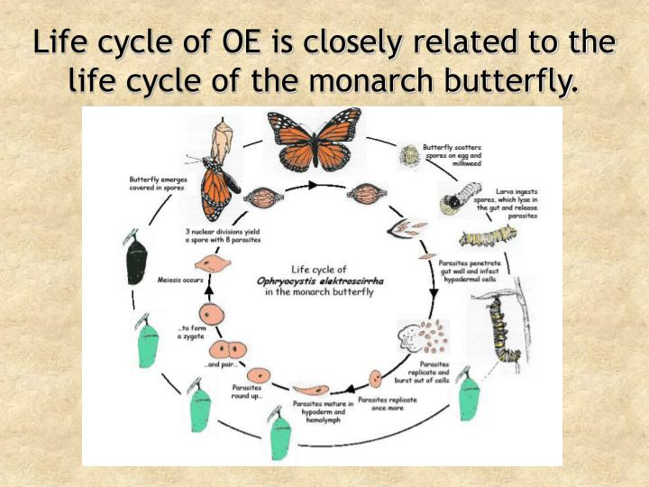 Life cycle of OE is closely related to the life cycle of the monarch butterfly.