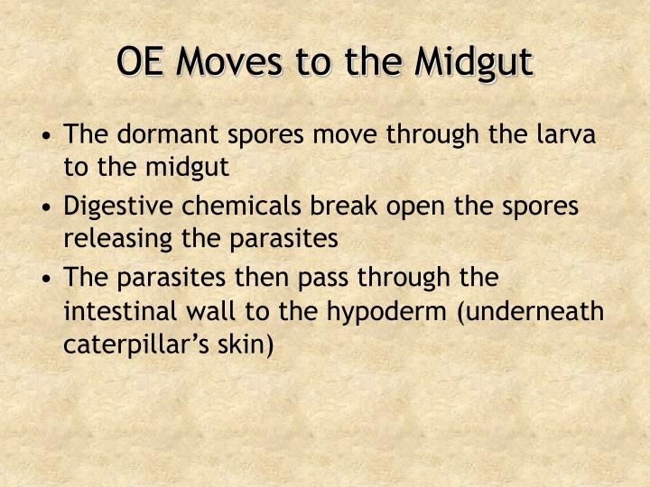OE Moves to the Midgut