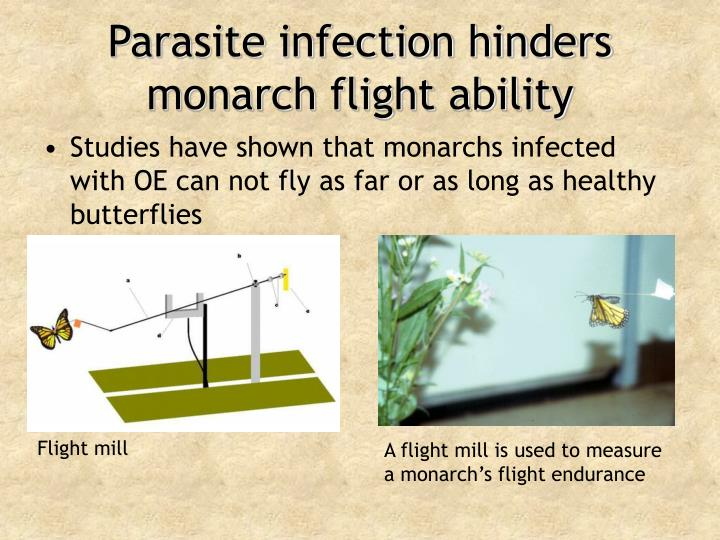 Parasite infection hinders monarch flight ability