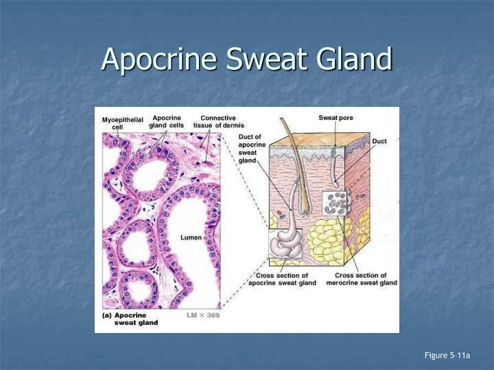 Apocrine Sweat Gland