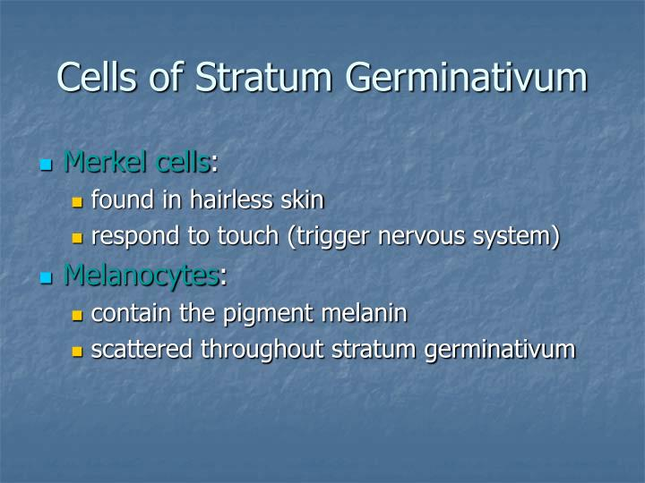 Cells of Stratum Germinativum