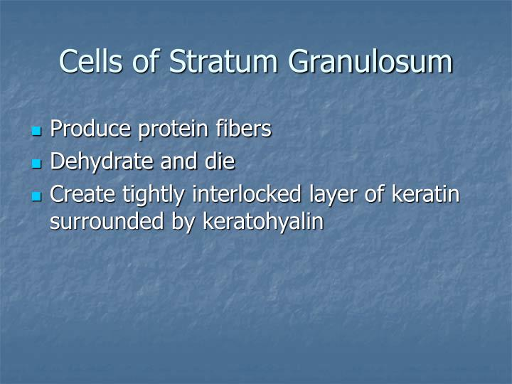 Cells of Stratum Granulosum
