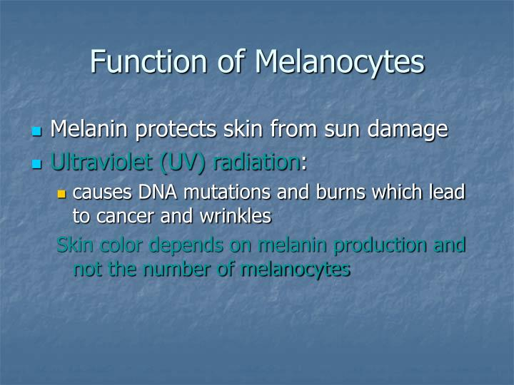 Function of Melanocytes
