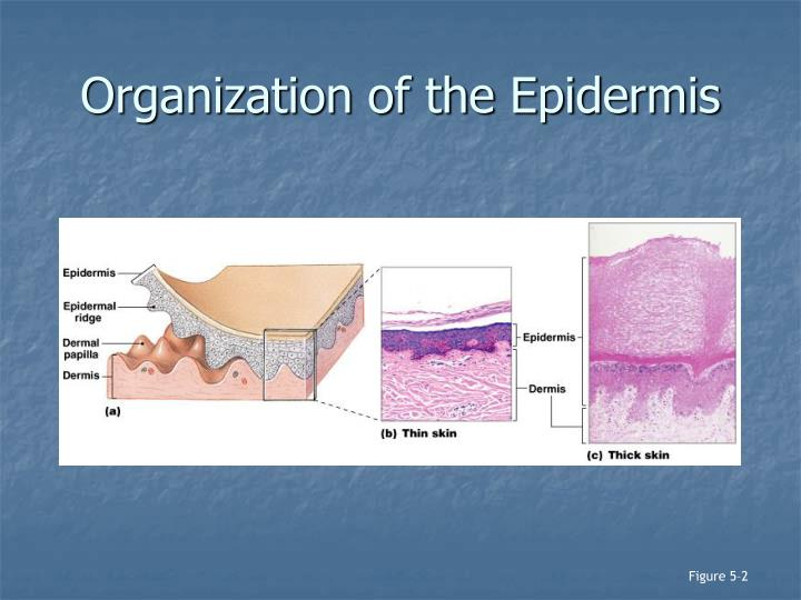 Organization of the Epidermis